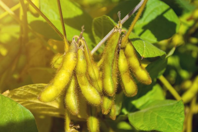 The French soybean industry aims to produce 650,000 tonnes by 2025
