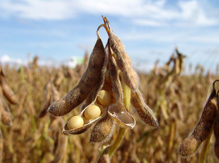 La filière française du soja ambitionne de produire 650 000 tonnes d'ici 2025